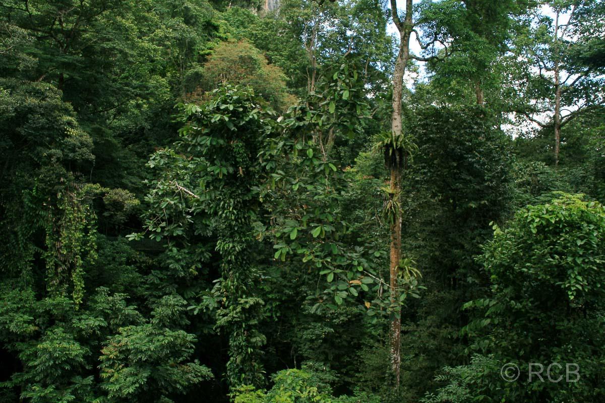 Blick vom Canopy Walkway, Mulu Nationalpark