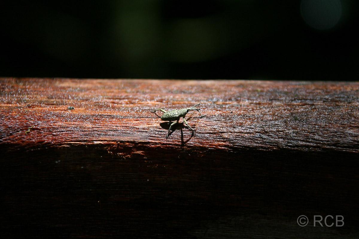 kleiner Käfer mit Rüssel, Mulu Nationalpark