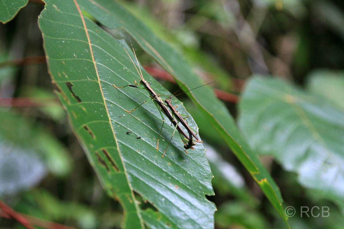 Stabheuschreckenpärchen, Mulu Nationalpark