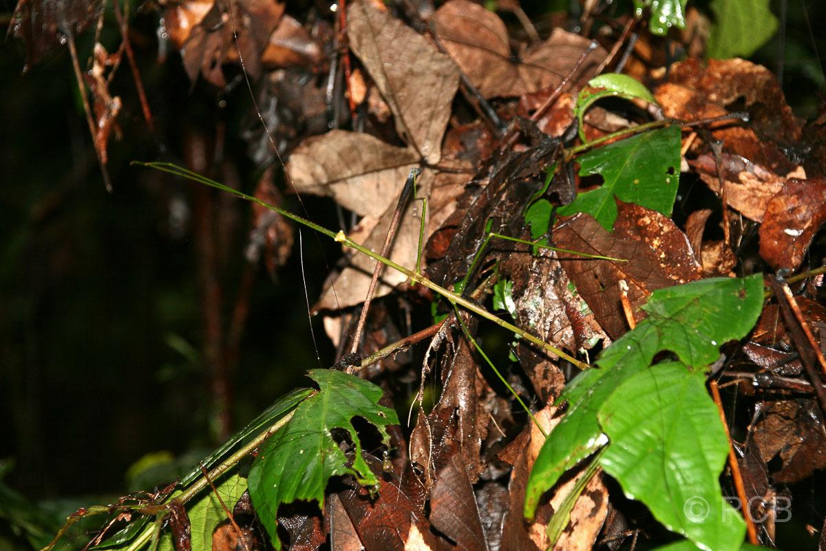 Stabheuschrecke, Mulu Nationalpark