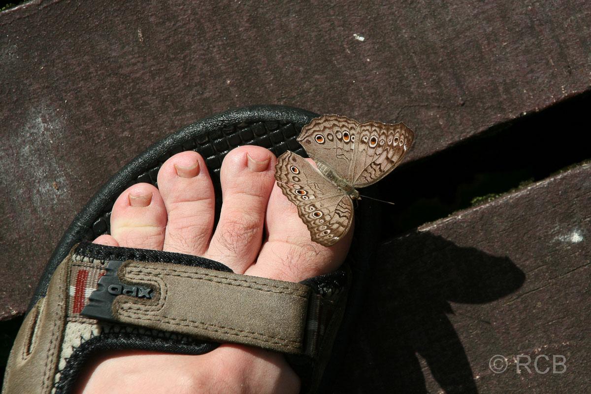 Schmetterling setzt sich kurz nieder auf den blanken Zehen eines Mannes in einer Sandale, Mulu Nationalpark