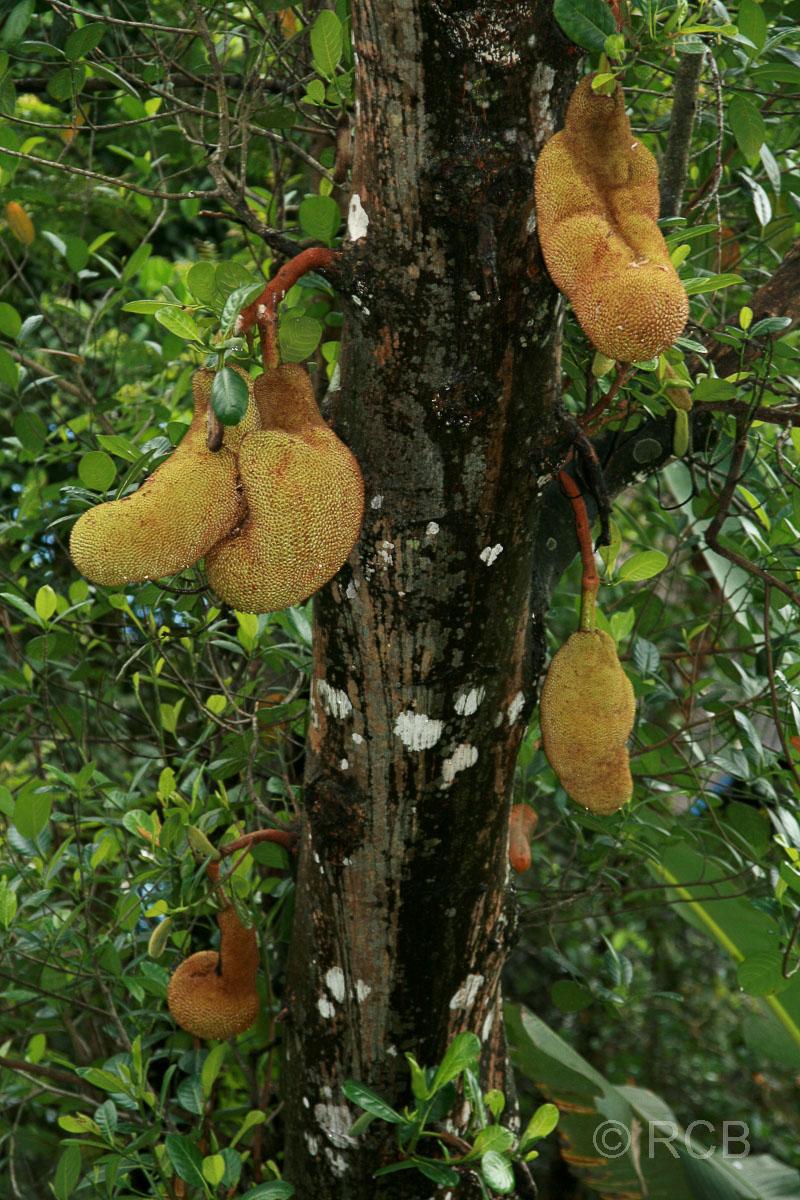Jackfruit-Baum, Sandakan