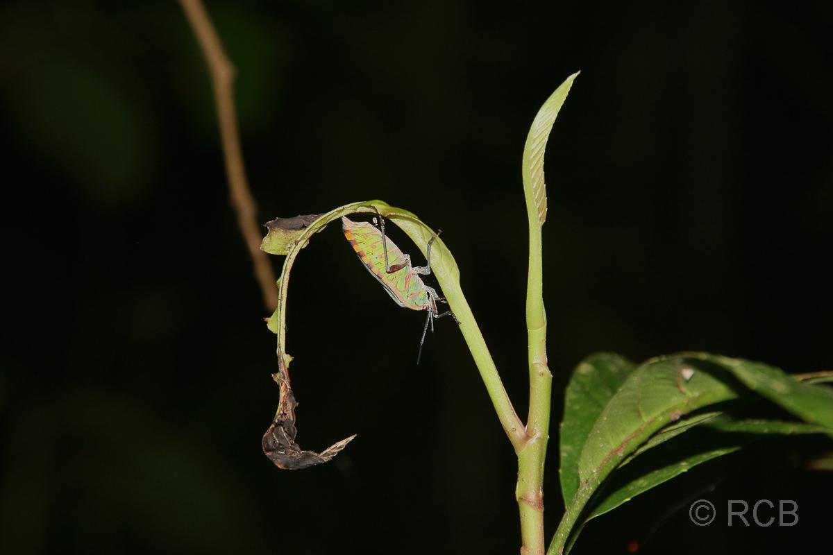 buntes Insekt auf einer Nachtwanderung am Kinabatangan River