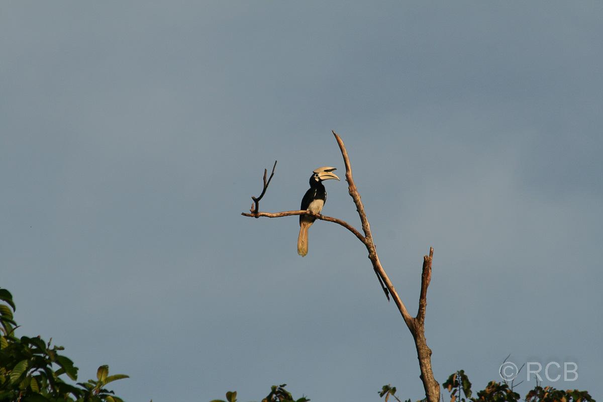 Weißhelm-Hornvogel am Kinabatangan River