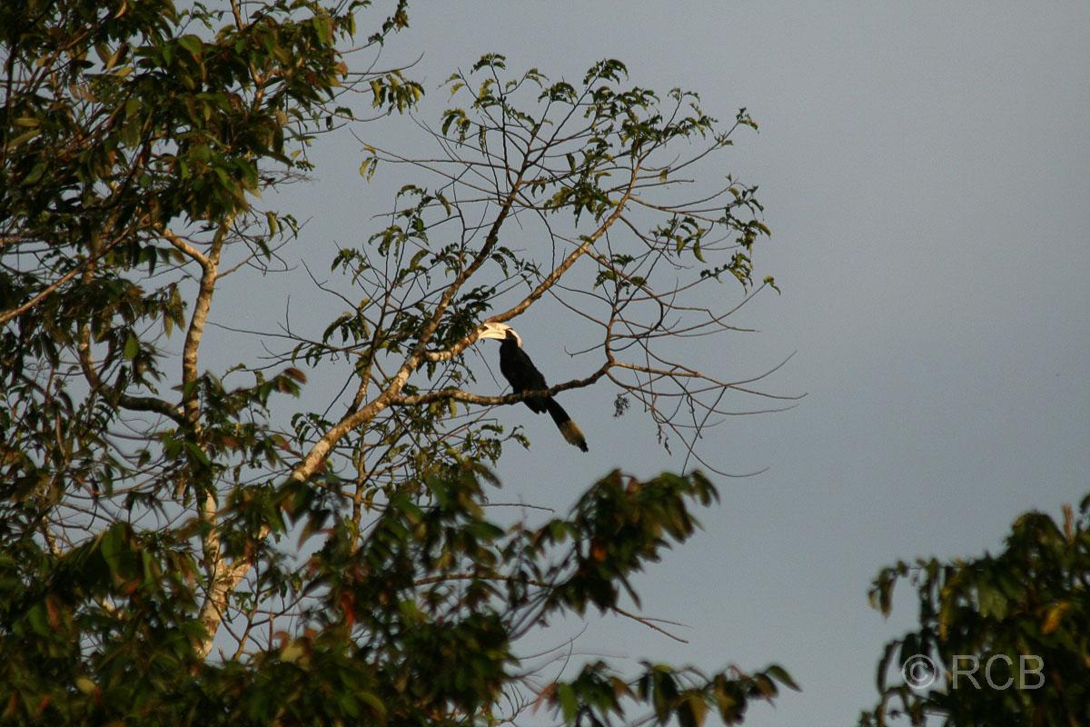Malaien-Hornvogel am Kinabatangan River