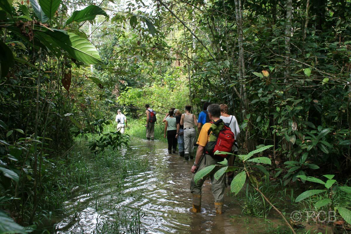Menschen waten durch knöchelhohes Wasser auf einer Dschungelwanderung am Kinabatangan River