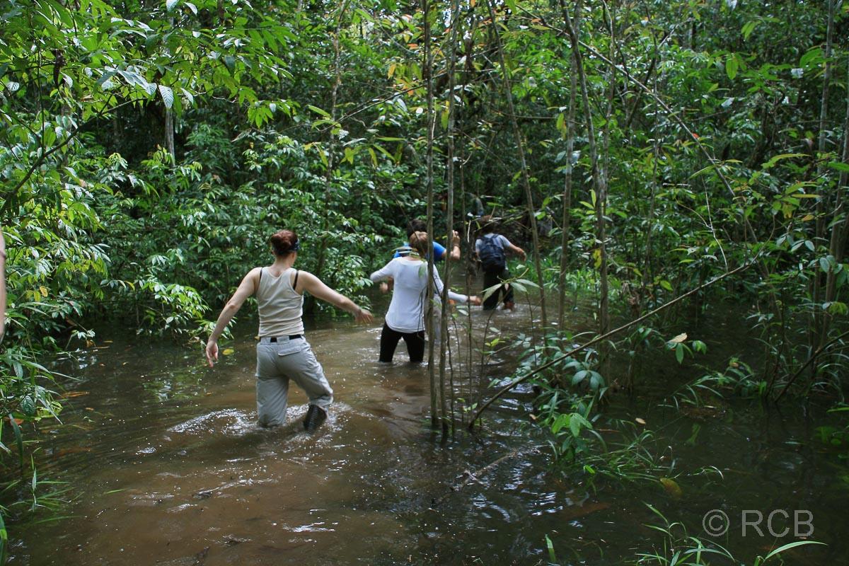 Menschen waten durch knietiefes Wasser auf einer Dschungelwanderung am Kinabatangan River