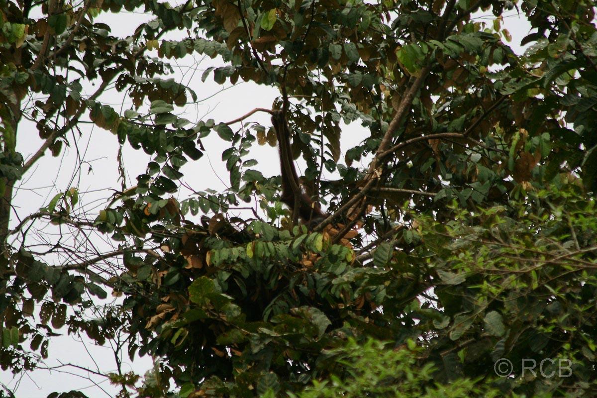 Orang-Utan-Nest mit ausgestrecktem Arm des Affen am Kinabatangan River