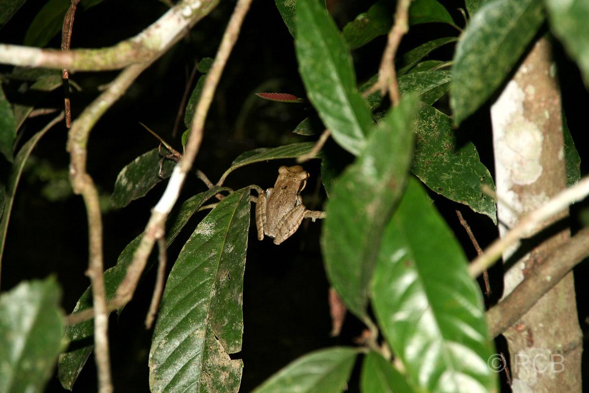 Frosch bei einer Nachtwanderung am Kinabatangan River