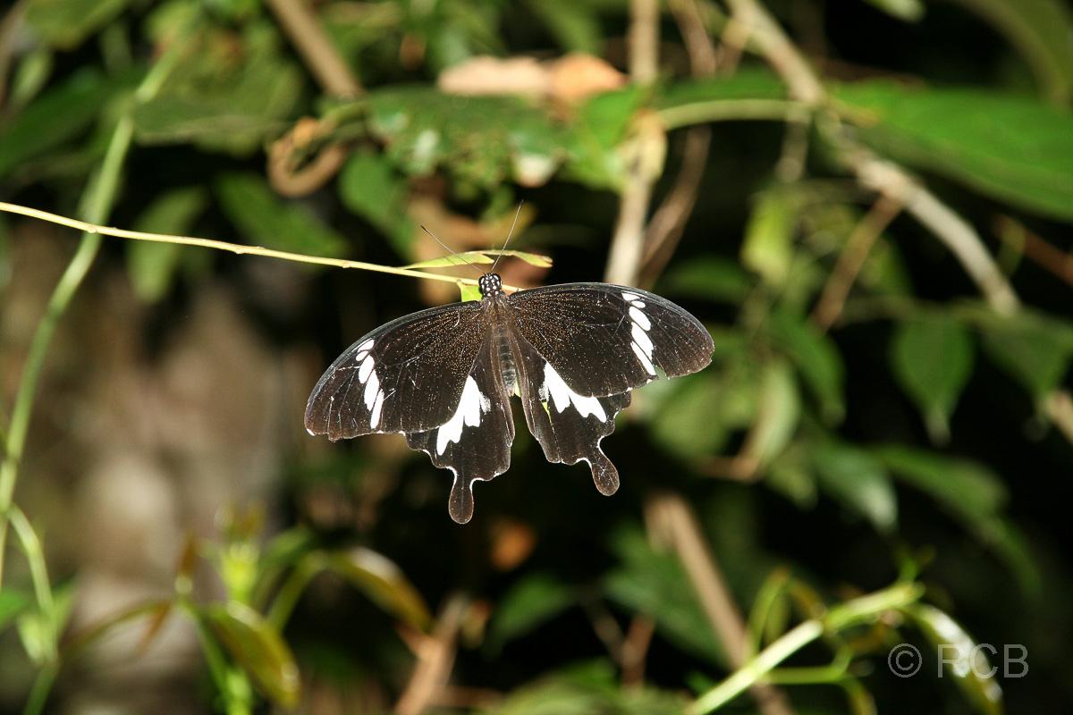 Schmetterling bei einer Nachtwanderung am Kinabatangan River