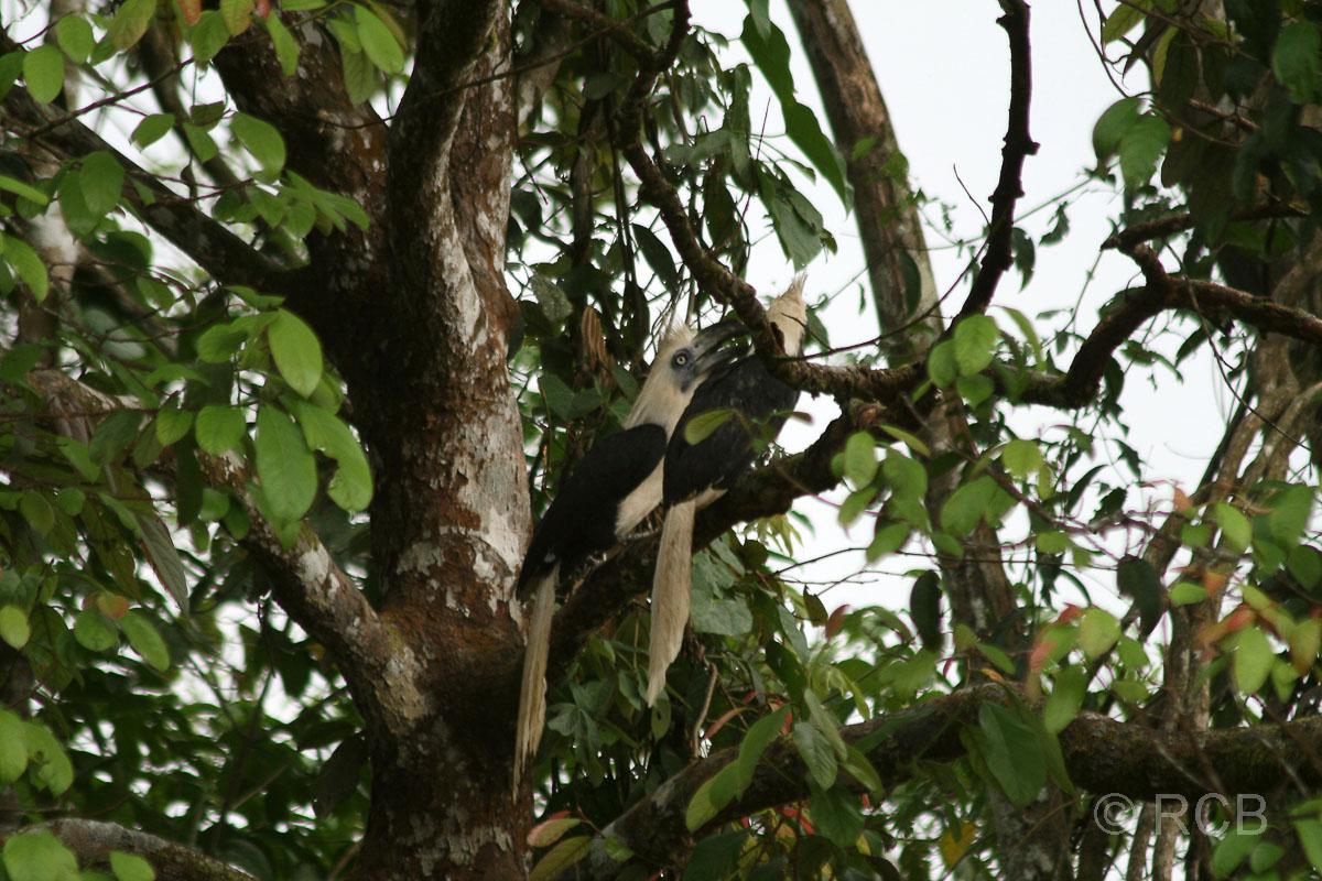 Langschopf-Hornvögel am Kinabatangan River