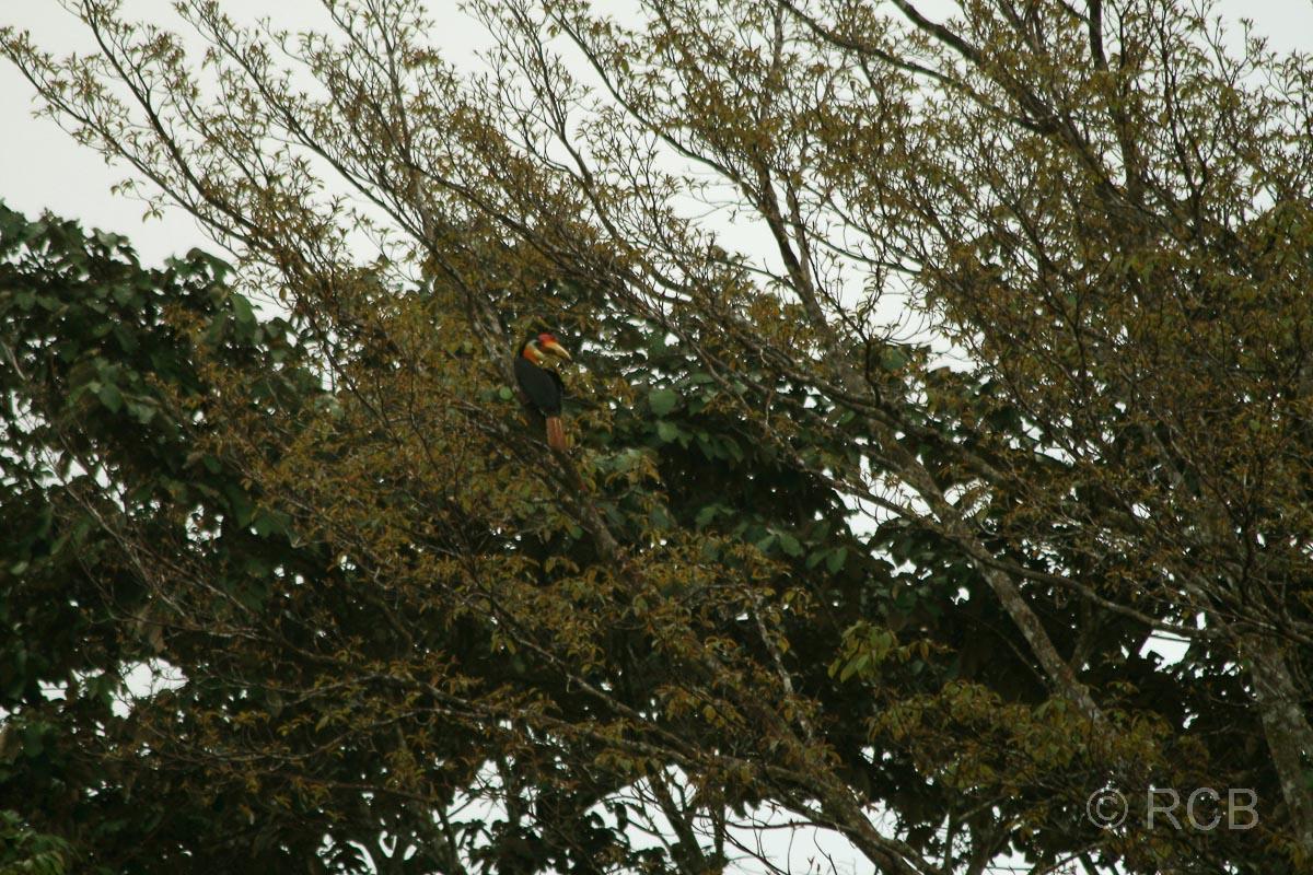 Runzel-Hornvogel am Kinabatangan River