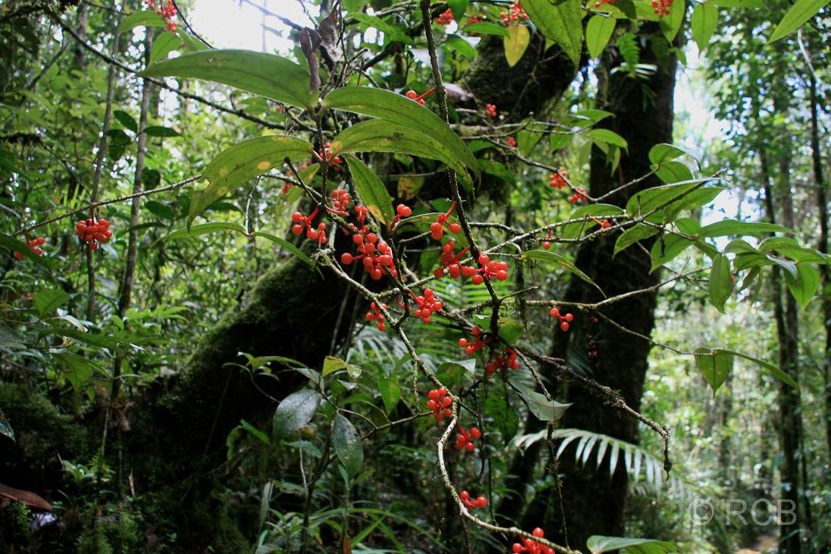 rote Beeren, Kinabalu National Park