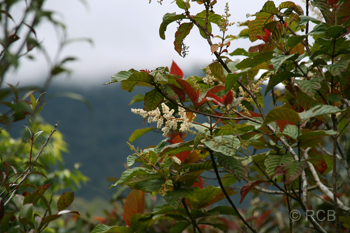 weiße Blüten, Kinabalu National Park
