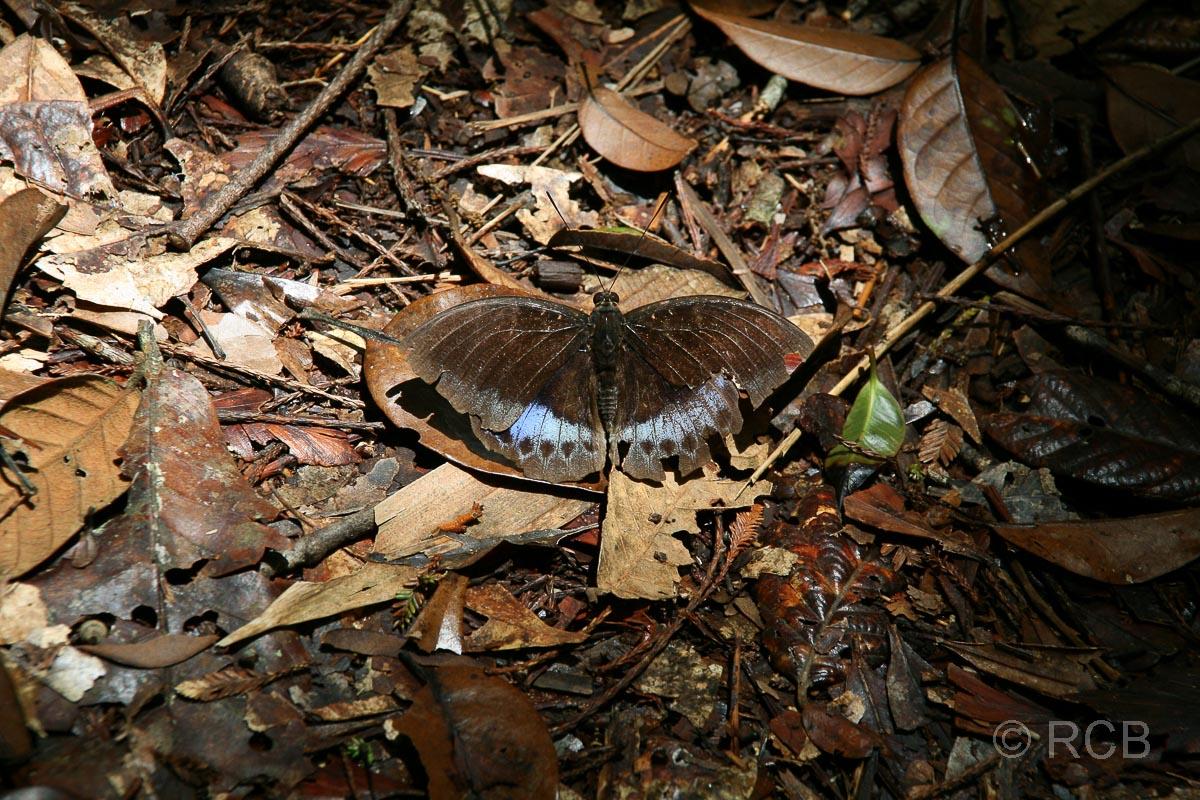 Schmetterling, Kinabalu National Park