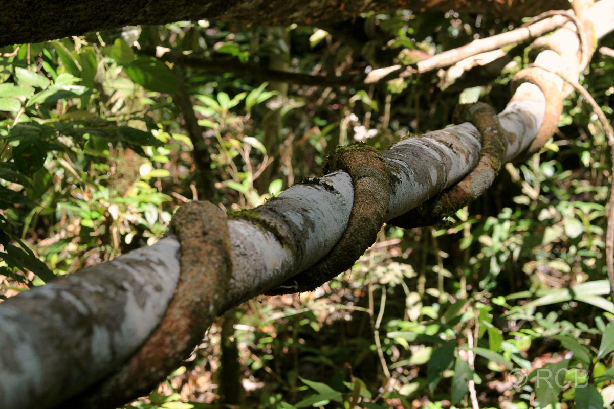 Schlinggewächs um einen Ast herum, Kinabalu National Park