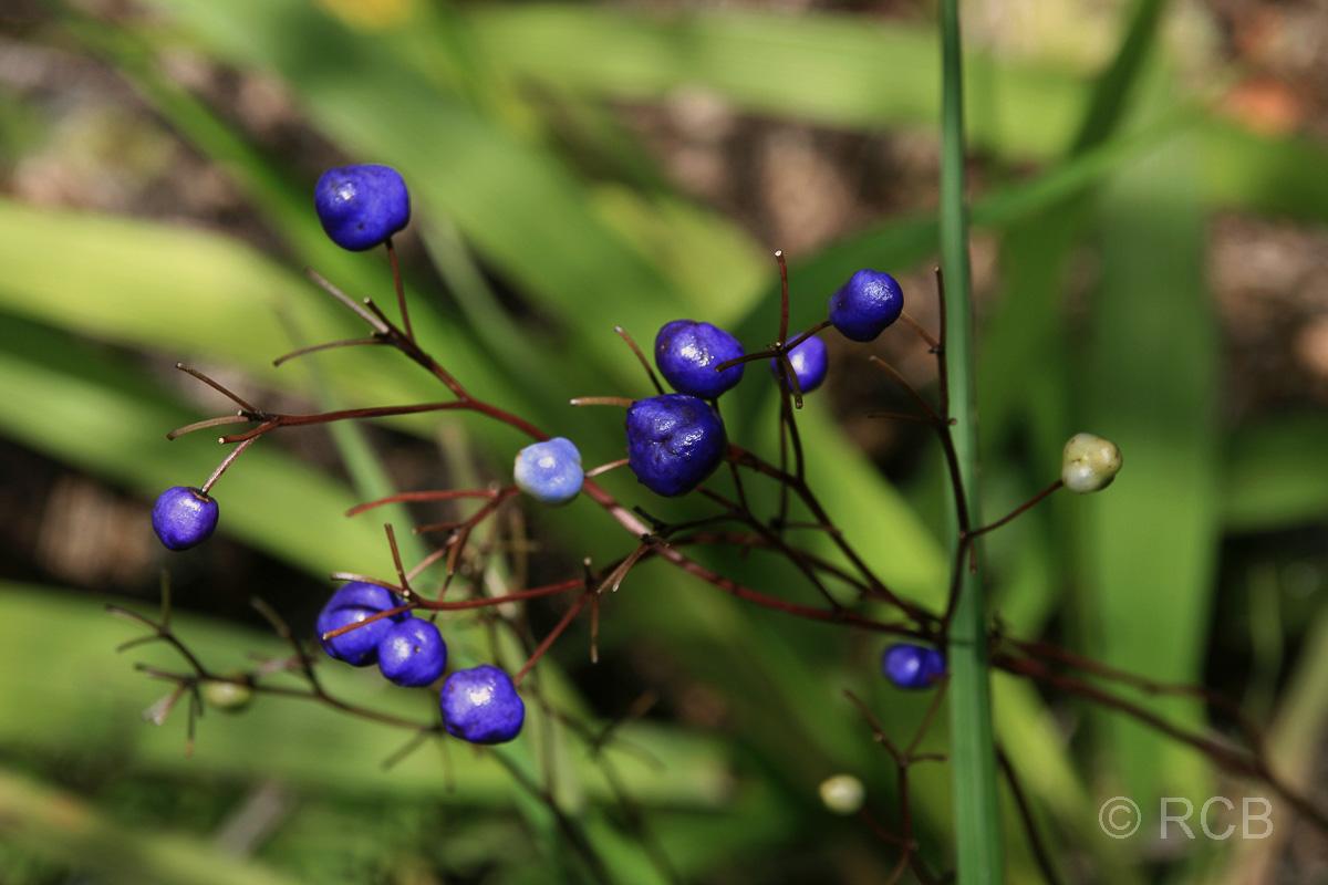 blaue Beeren, Kinabalu National Park