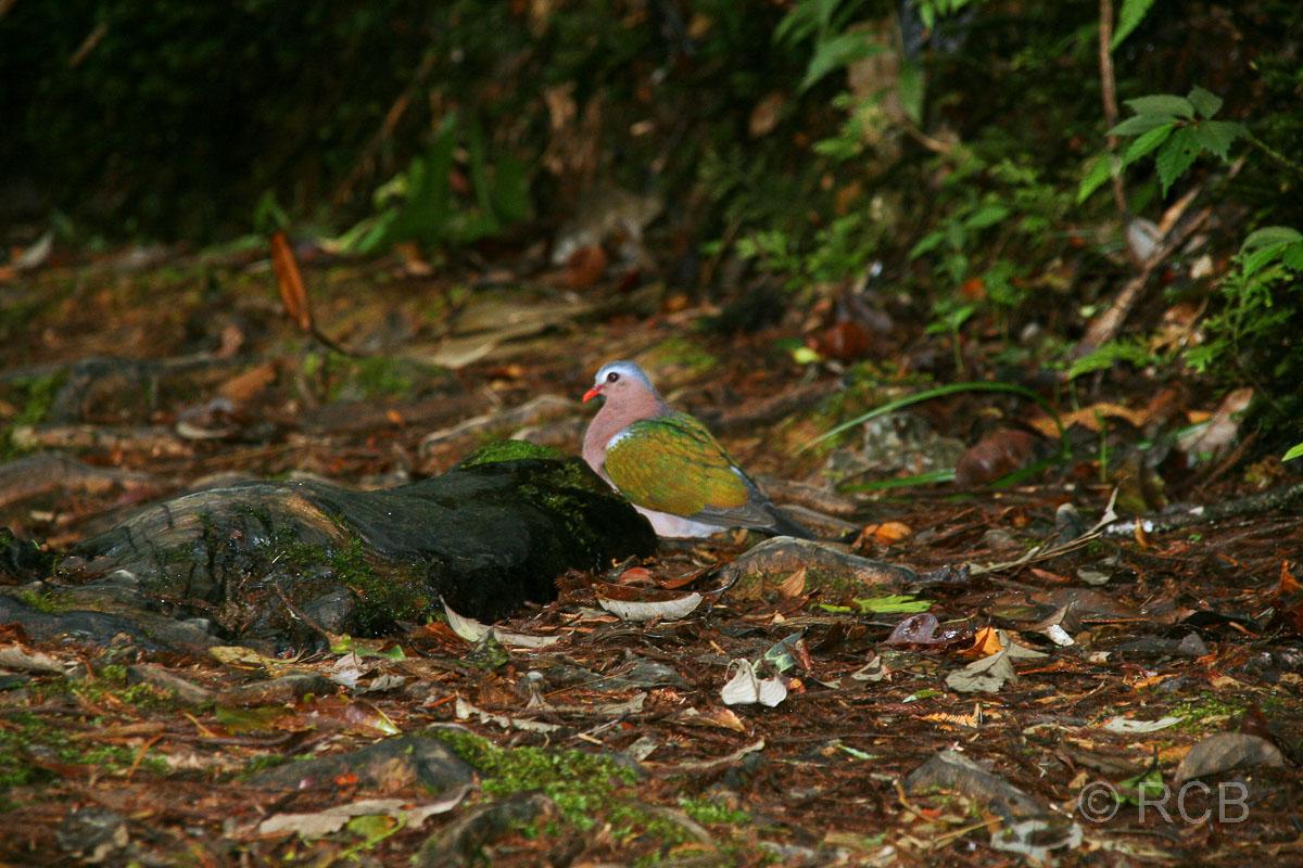 Grünflügeltaube, Kinabalu National Park