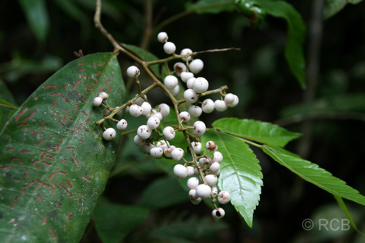 weiße Beeren, Kinabalu National Park