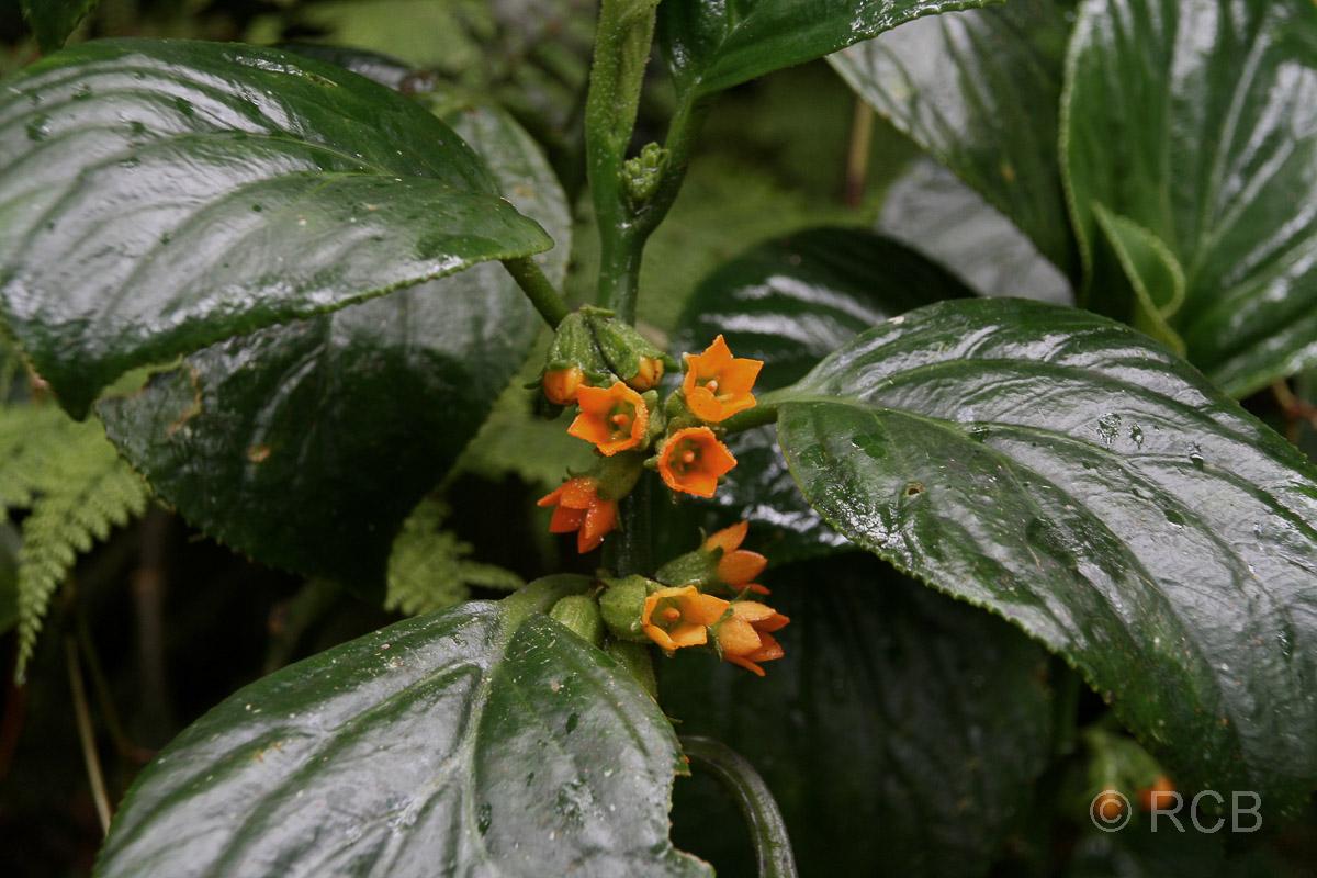 orange Blüten im Kinabalu National Park
