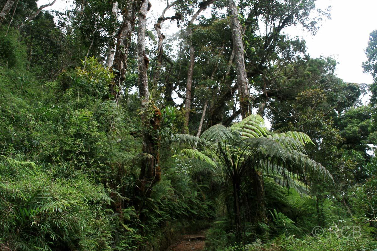 tropischer Bergwald am Mt. Kinabalu