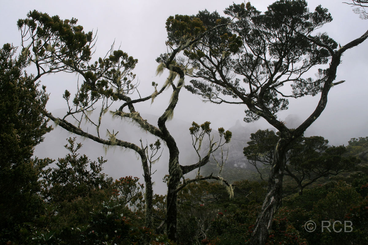 tropischer Nebelwald am Mt. Kinabalu