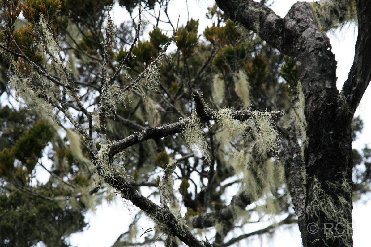 Flechten im tropischen Nebelwald am Mt. Kinabalu