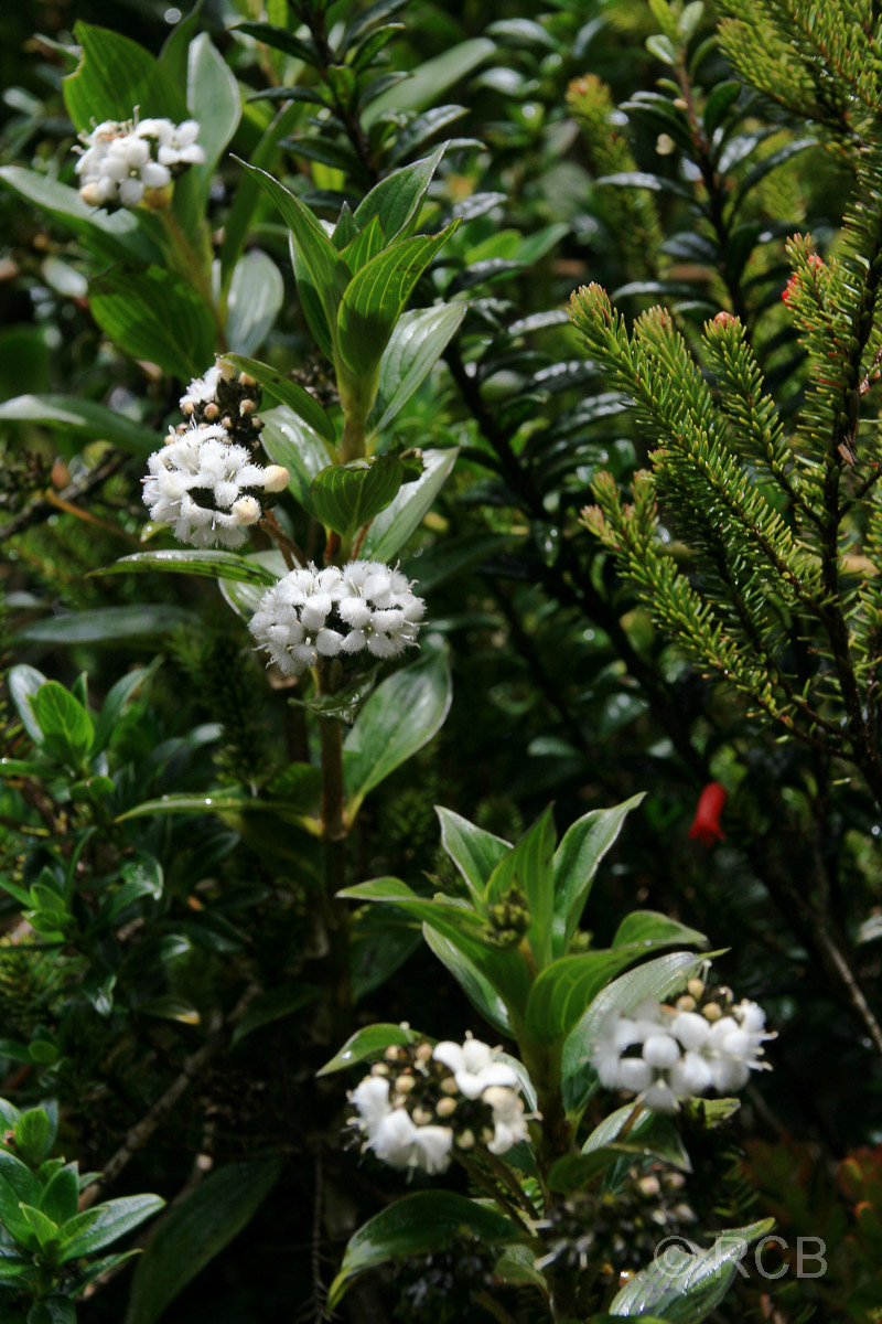weiße Blüten am Mt. Kinabalu