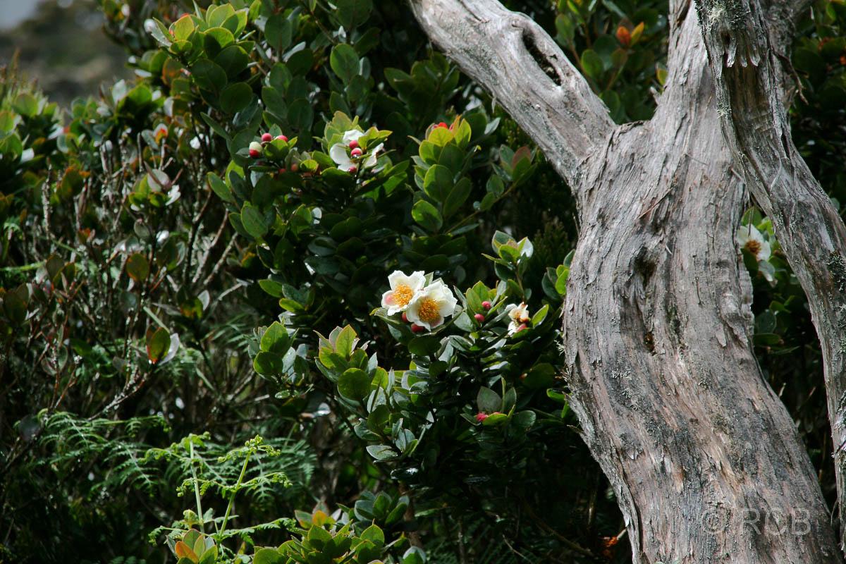 Blüten und Holz am Mt. Kinabalu