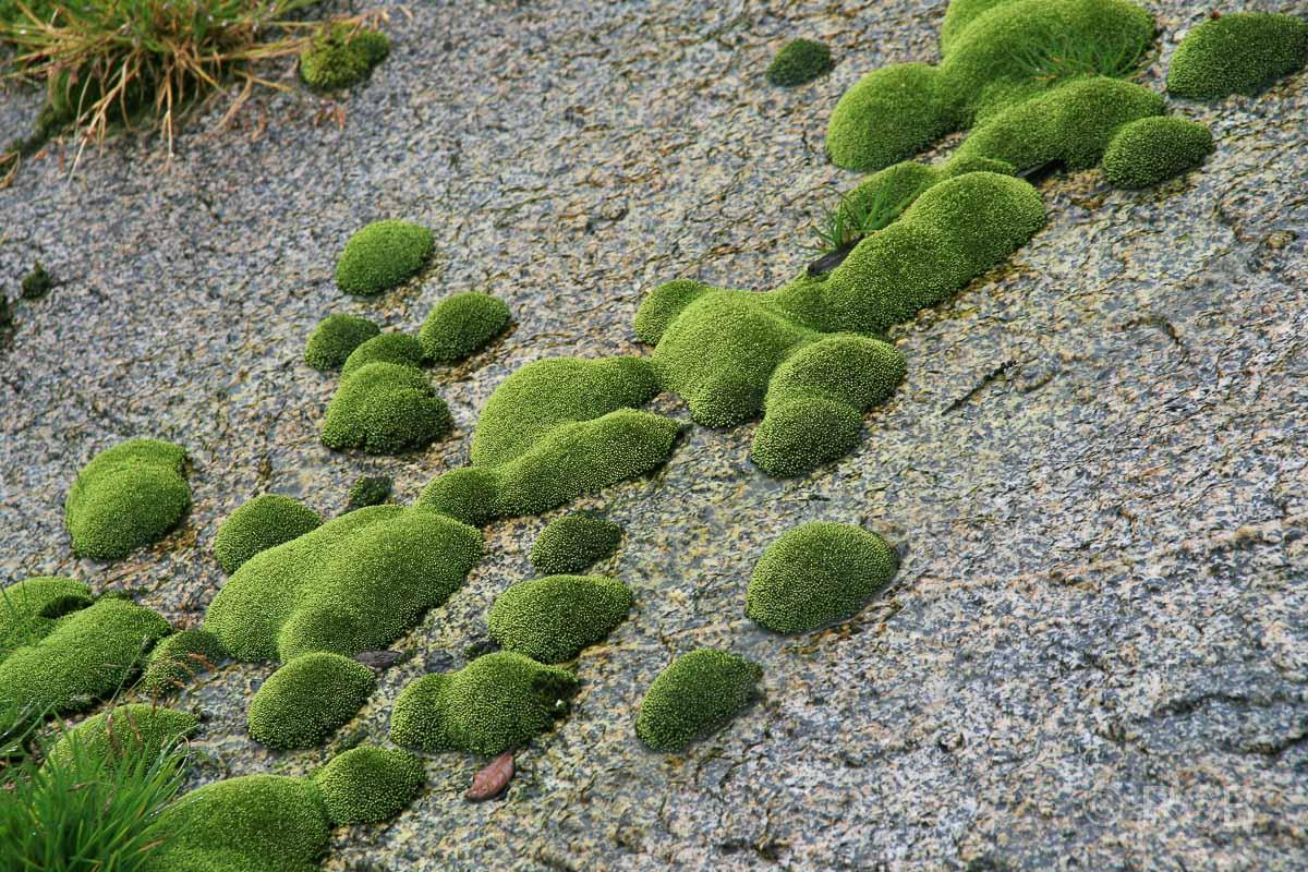 buckelige Moospolster am Mt. Kinabalu
