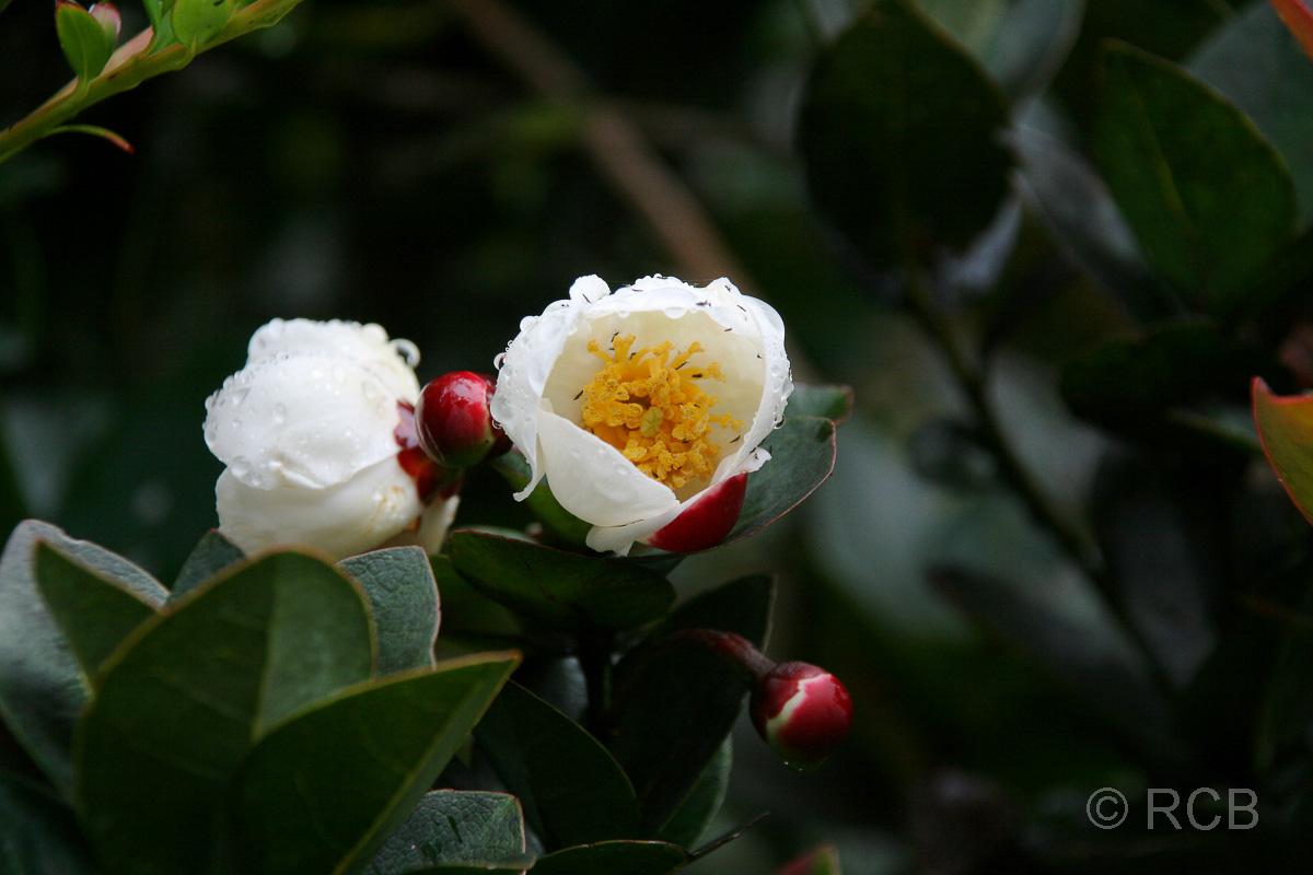 weiße Blüten, Mt. Kinabalu
