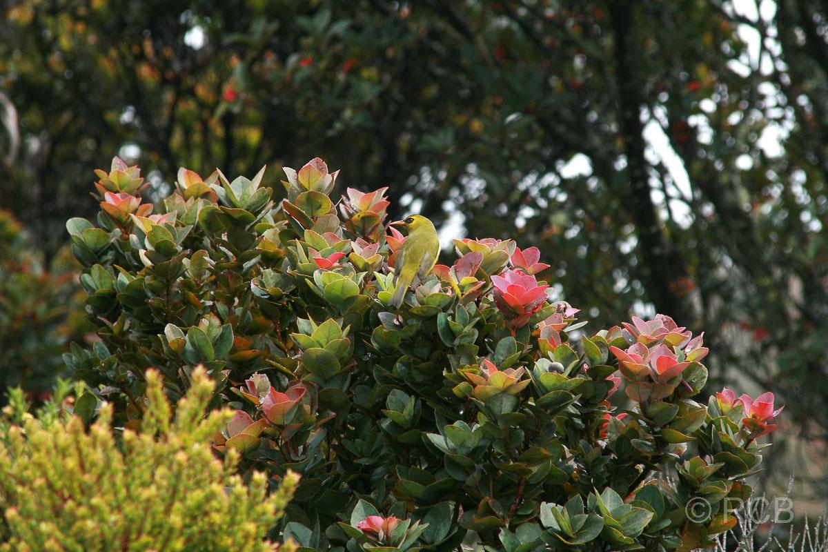 Brillenvogel am Mt. Kinabalu