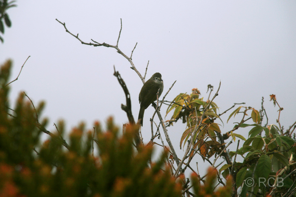 Vogel am Mt. Kinabalu