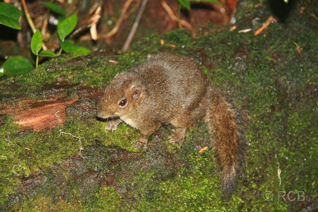 Sunda-Baumhörnchen am Mt. Kinabalu