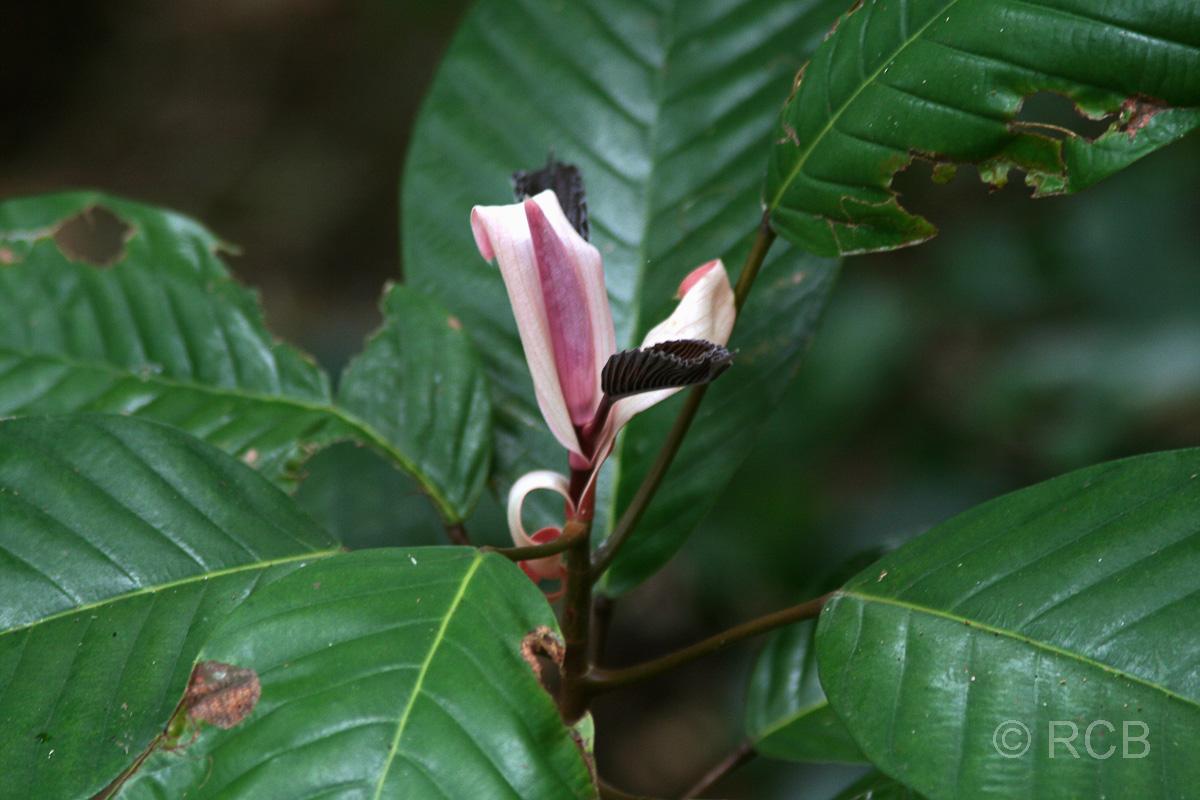 Blüte auf Pulau Sapi