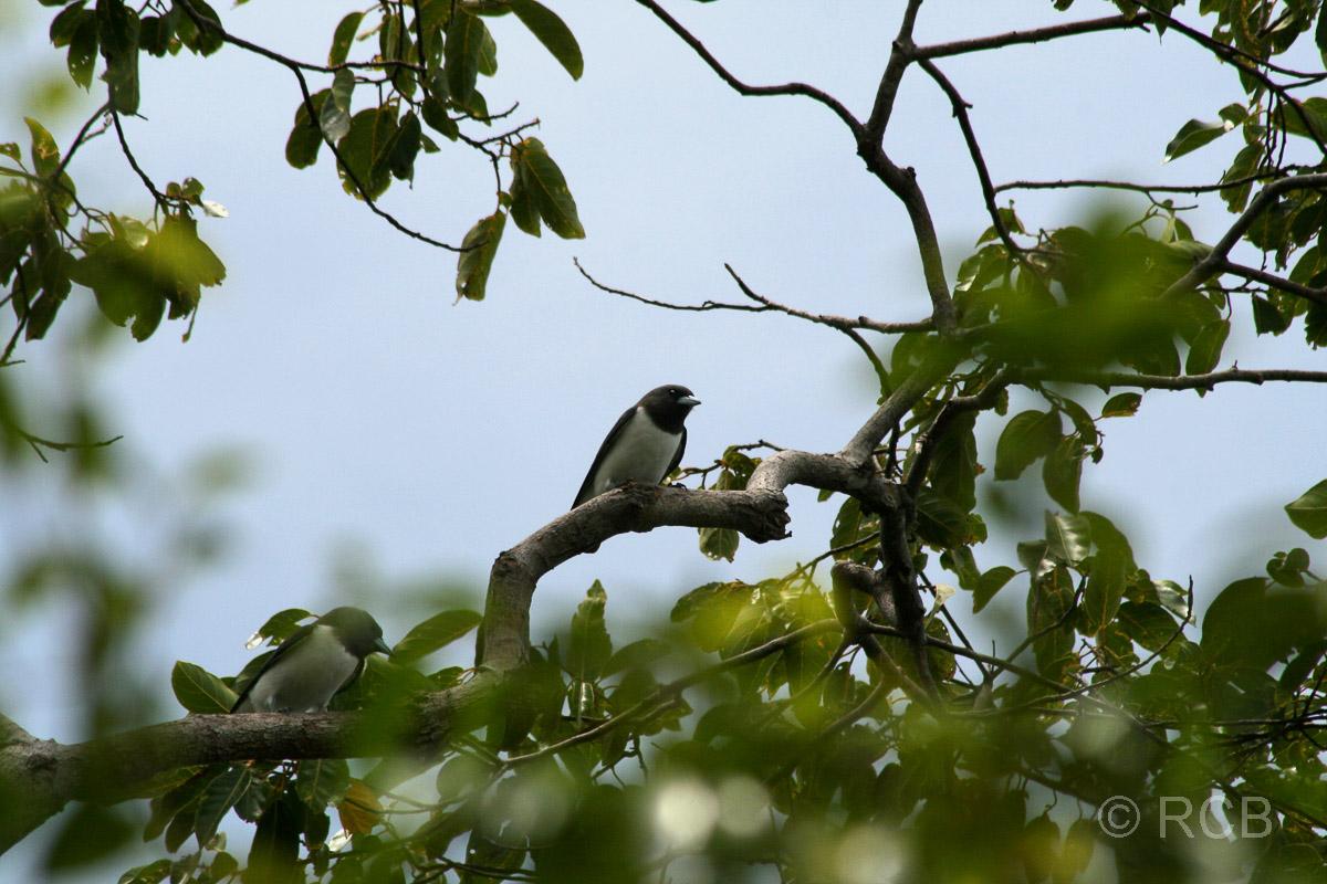 Weißbauch-Schwalbenstar auf Pulau Sapi