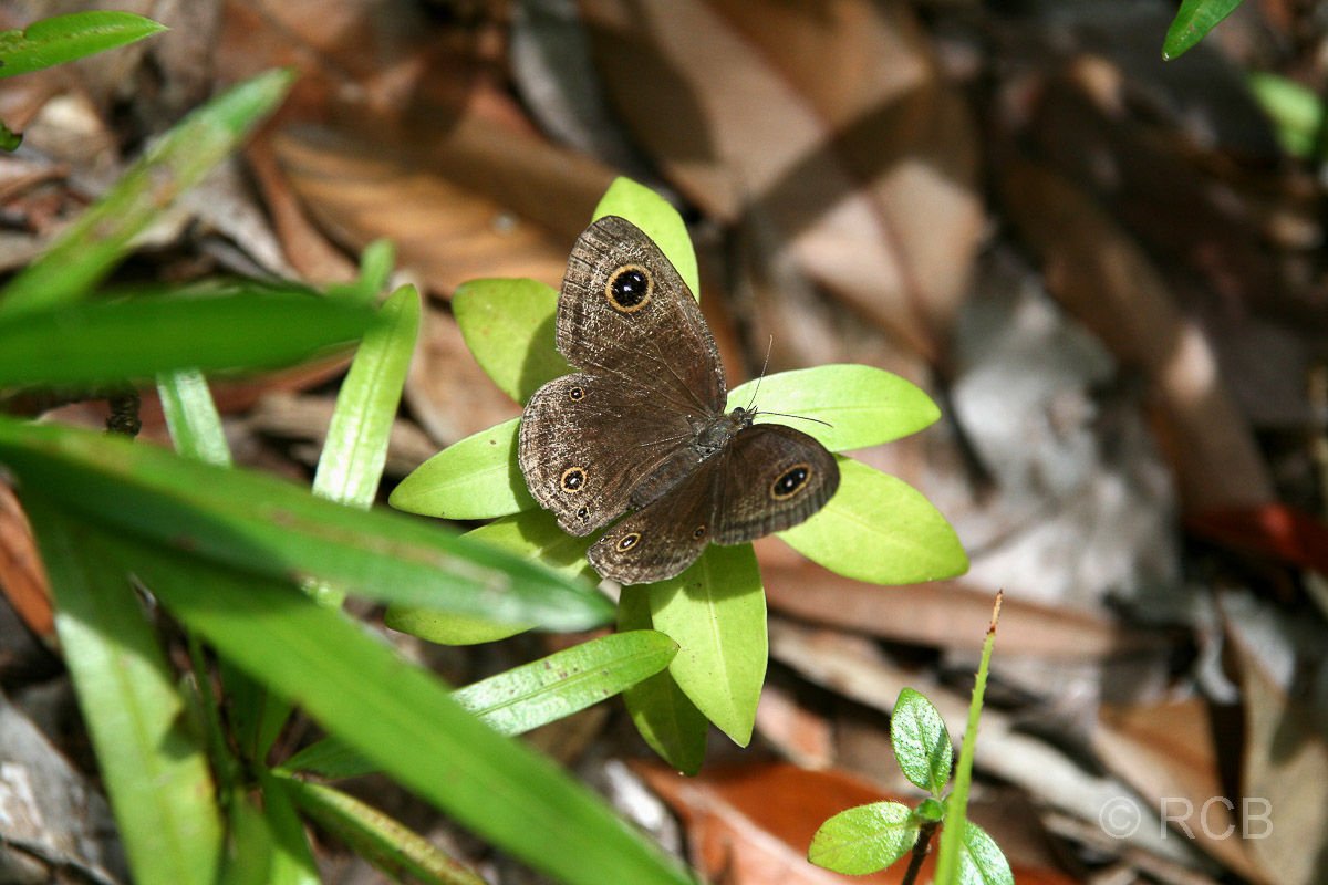 Schmetterling auf Pulau Sapi