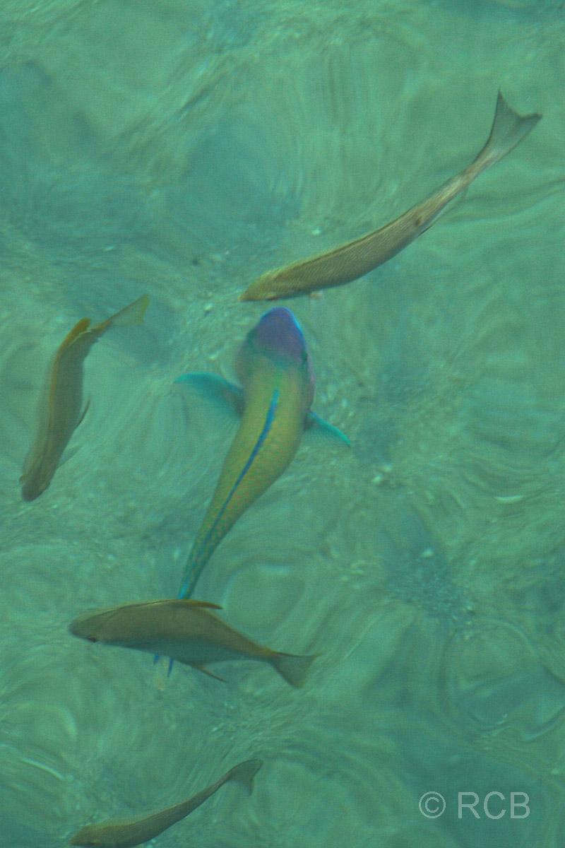 Fische im klaren, türkisblauen Wasser auf Pulau Sapi