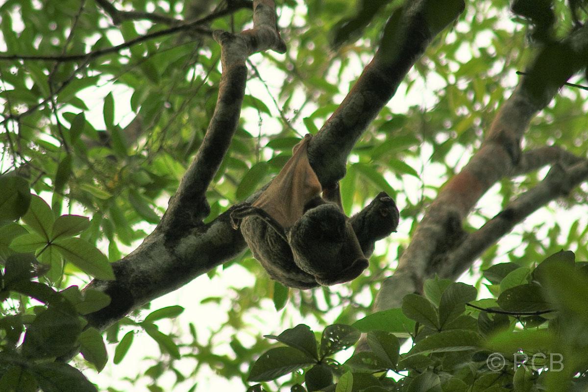 Malaien-Gleitflieger mit Jungem
