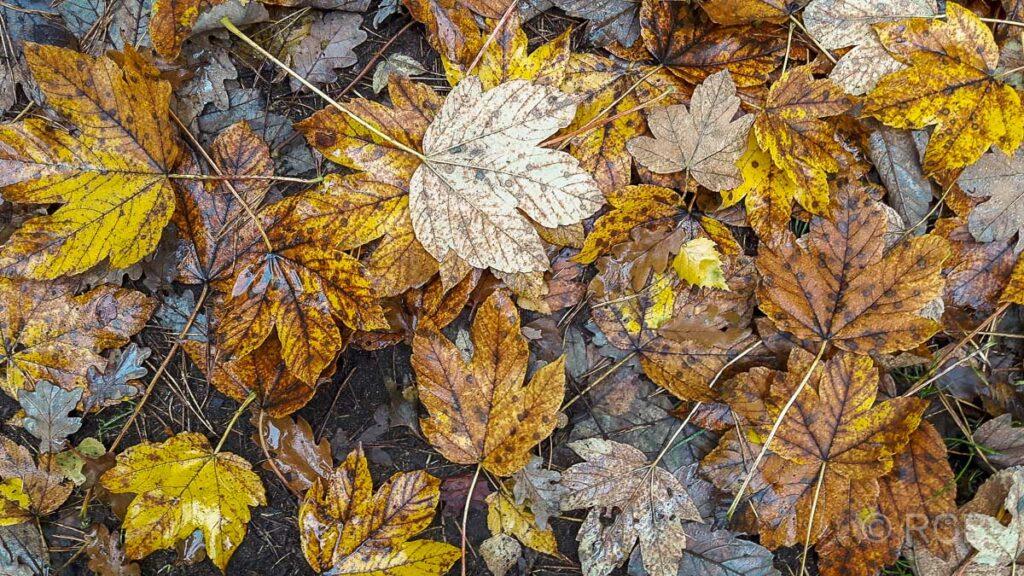 Herbstlaub in der Haard