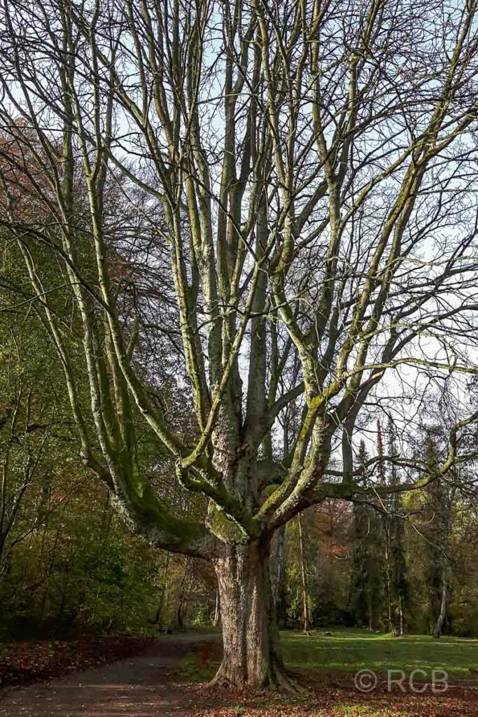 Baum im Hölter Park, Mülheim