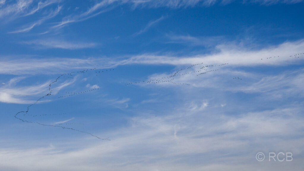 fliegende Kraniche auf dem Weg in den Süden