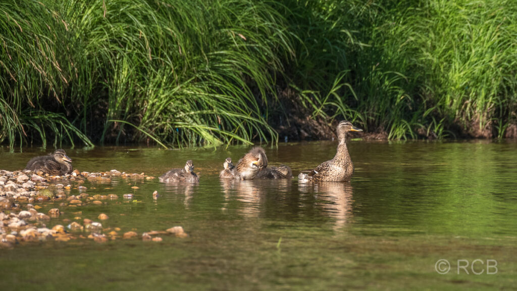 Ente mit Jungen am Ufer der Gauja