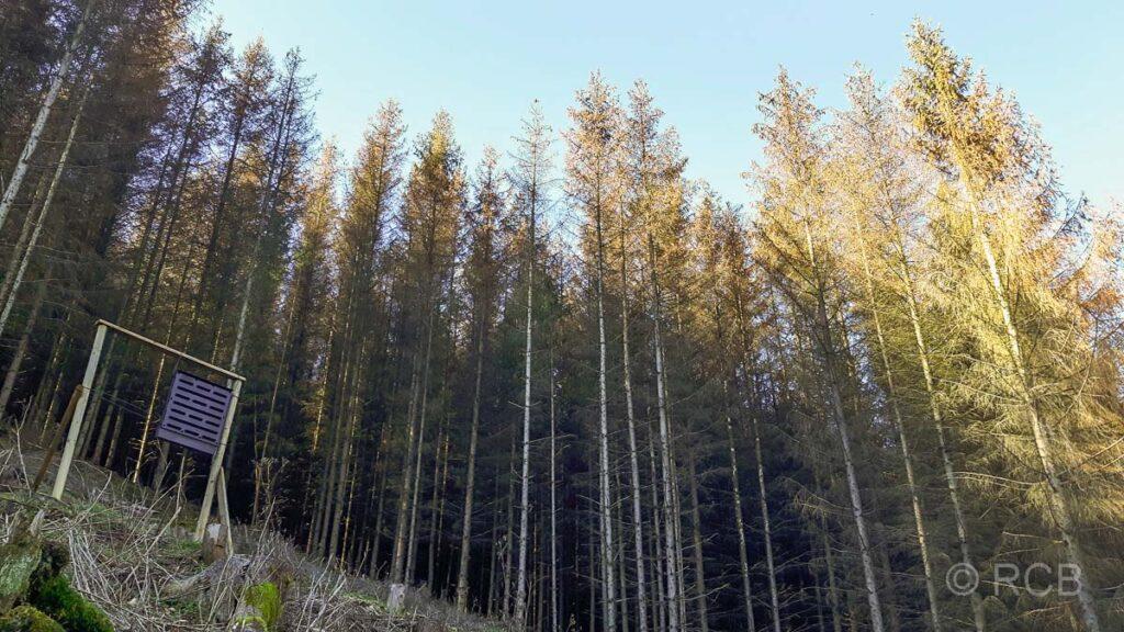 Borkenkäferfalle und Nadelbäume