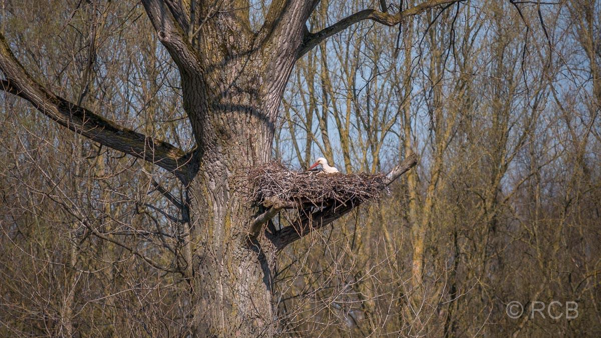 Storch auf dem Nest