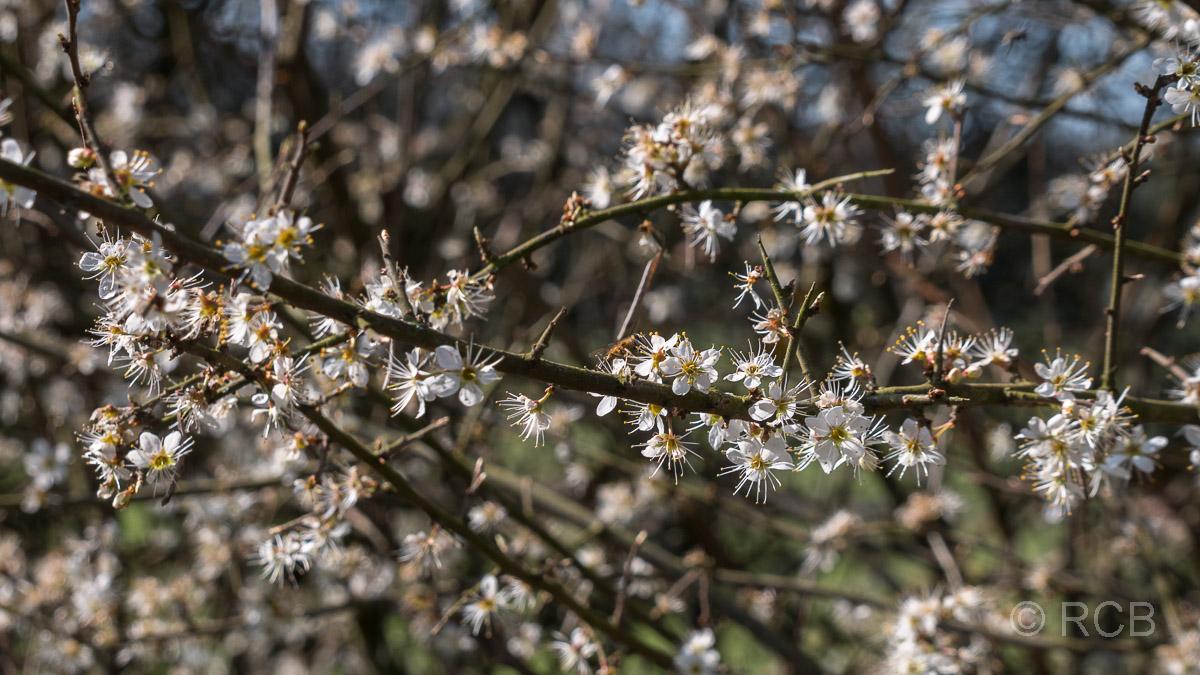 Schlehdorn-Blüten
