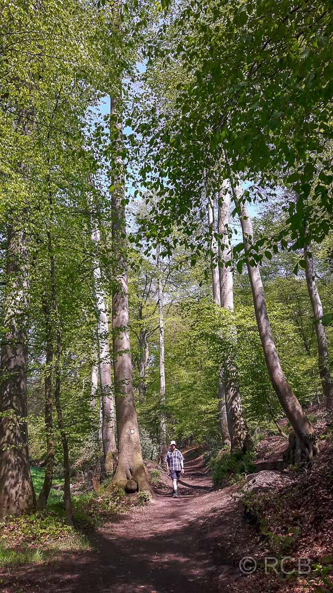 Wanderer zwischen hohen Bäumen